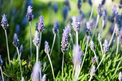 Bright purple lavender flowers in soft focus, beautiful natural. Floral background and texture Royalty Free Stock Photography