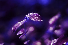 Bright purple. Leaves with water drop artistic Stock Image