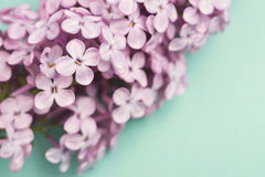 Bright purple lilac flowers isolated on blue background Royalty Free Stock Photo