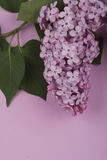 Bright purple lilac flowers isolated on rose background Stock Image