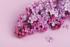 Bright purple lilac flowers isolated on rose background Royalty Free Stock Images