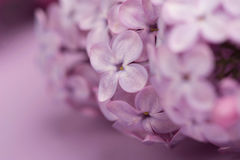 Bright purple lilac flowers isolated on rose background Royalty Free Stock Image