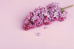 Bright purple lilac flowers  on rose background Stock Photo