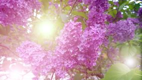 Bright purple lilac with the glare of the sun. Visible green foliage, branches and lots of fluffy buds.  Royalty Free Stock Photo