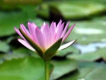 Bright Purple Lotus Flower Stock Photo