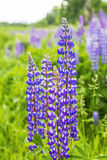Bright purple lupine blossoms Royalty Free Stock Photo
