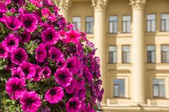 Bright purple mauve flowers on a foreground and a building with columns. Bright purple mauve flowers on a foreground and a building with columns Royalty Free Stock Photo