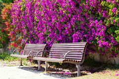 Purple Bougainvillea and Park Benches. Bright purple and orange flowering Bougainvillea covering a tall wall behind two wooden park benches. Spring colour Stock Photography