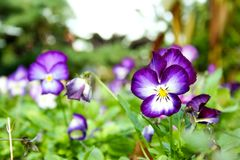 Bright purple pansies and green foliage. Bright and beautiful purple and white pansies and green foliage Royalty Free Stock Photo