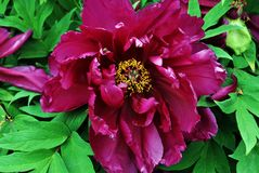 Bright purple peony flowers, close up detail, soft green blurry leaves. Background stock images