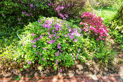 Bright purple and pink bushes of flowers in the park. Bright flowers photographed in Washington D.C., the United States. Plenty of flowers can be found near the royalty free stock photo