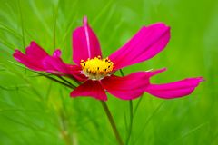 Bright purple pink garden cosmos flower blossom in front of a blurry green background Stock Photos