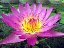 Bright Purple Water Lily. This flower is considered a symbol for Buddhism in East Asia stock photo