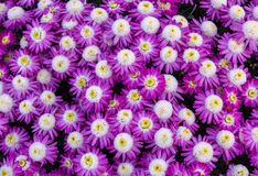 Bright purple white yellow flowers bunch in pattern. Royalty Free Stock Photos
