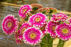 Bright purplish red gerberas. Bouquet of beautiful bright purplish red gerberas Royalty Free Stock Images