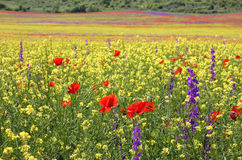 Bright Rapeseed field with poppies and Delphiniums. Bright colorful field of rapeseed, poppies and Delphiniums blooming in the spring Stock Photography
