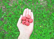 Bright raspberries in woman hand on Royalty Free Stock Photography