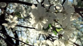 Bright Rays of Spring. Flowers blossoming pear closeup backlit volume sunlight and romantic haze stock video footage