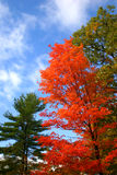 Bright Red. This bright tree and beautiful blue sky called to me royalty free stock photography