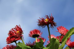 Bright red African daisies with blue skies Royalty Free Stock Images