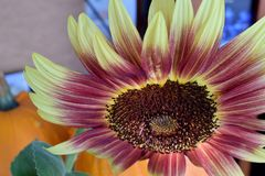 Bright Red And Yellow Petal Sunflower Royalty Free Stock Photography