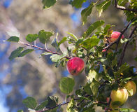 Bright red apples on a branch Royalty Free Stock Images