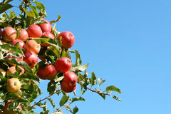 Bright red apples grow high on the tree Royalty Free Stock Photo