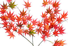 Bright red autumn Japanese maple leaves, or Acer palmatum, isolated over a white background Royalty Free Stock Photo