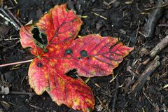 Bright red autumn leaf royalty free stock photography