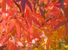 Bright red autumn leaves Royalty Free Stock Photo