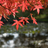 Bright red autumn leaves Royalty Free Stock Photos