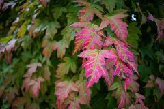 Bright Red Autumn Leaves on Amur Maple stock photo