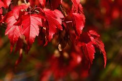 Bright red autumn leaves of decorative maple tree, seeds whirlybird seeds also caled samaras typical for Acer genus visible in upp. Er right corner, natural royalty free stock photo