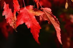 Bright red autumn leaves of decorative maple tree, seeds whirlybird seeds also caled samaras typical for Acer genus visible in upp. Er right corner, natural stock photography