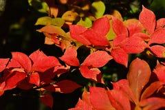 Bright red autumn leaves of decorative shrub Christmas berry, also called oriental photinia, latin name Photinia Villosa Royalty Free Stock Image