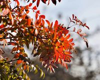 Bright red autumn leaves of a mountain ash lit by the sun Royalty Free Stock Photography