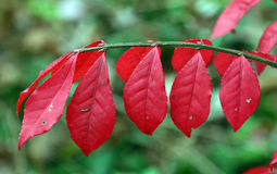 Bright red autumn Stock Photography