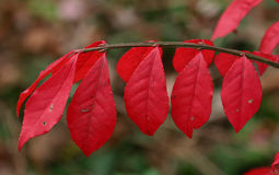Bright red autumn leaves in the park Royalty Free Stock Photos
