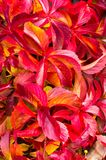 Bright red autumn leaves of wild grapes Royalty Free Stock Photos