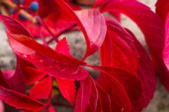 Bright red autumn leaves of wild grapes Stock Photo