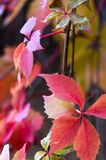 Bright red autumn leaves of wild grapes Stock Images