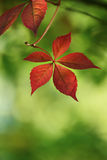 Bright red autumn leaves of wild grapes Royalty Free Stock Image