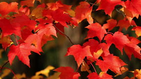 Bright red autumn maple leaves. Swaying in the wind stock video footage
