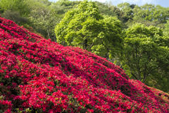 Bright red azalea field Royalty Free Stock Photography