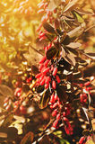 Bright red barberry berries - in Latin Berberis- on the tree under the sunny light Royalty Free Stock Image