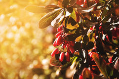 Bright red barberry berries - in Latin Berberis- on the tree under the sunny light Stock Photo