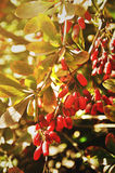 Bright red barberry berries - in Latin Berberis- on the tree under the sunny light Stock Images