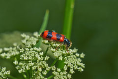 Bright red beetle on a flower. Royalty Free Stock Image