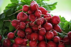 Raw red Beets with Foliage Stock Photography