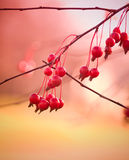 Bright red berries. Growing on a tree Royalty Free Stock Images